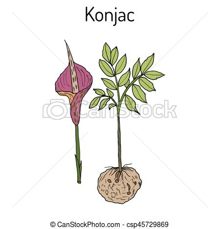 Voodoo clipart love  potato Art plant Medicinal