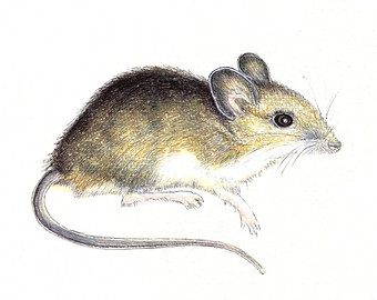 Drawn rodent field mouse Mouse original drawing print an