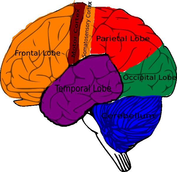 Anatomy clipart brain  of clip clip clip