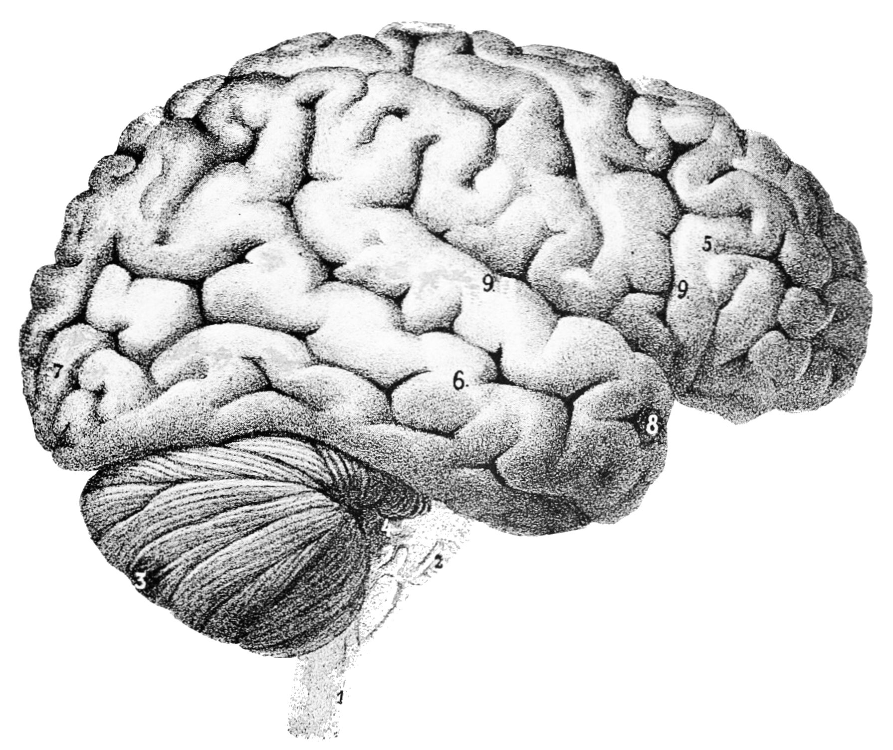 Mind clipart part the brain V46 human Clipart Human of