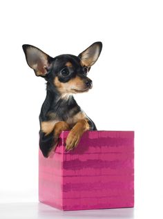 Miniature Pinscher clipart mini #6