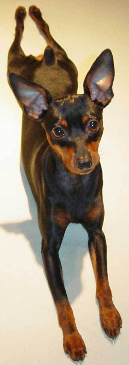 Miniature Pinscher clipart mini #9