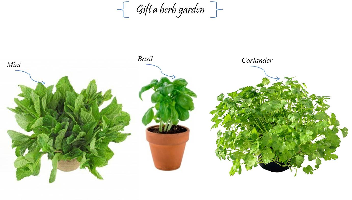 Mint clipart herb Zone Herbal Cliparts clipart garden