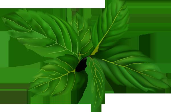 Mint clipart peppermint leaf Clipart Mint Clipart