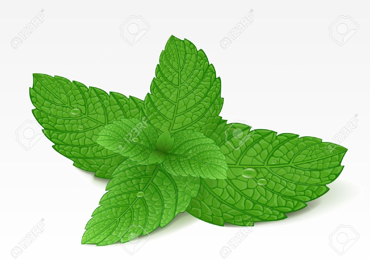 Mint clipart peppermint leaf Essential focusing Oil  the