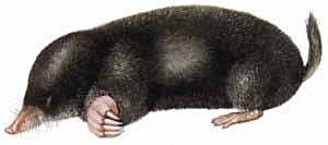 Mole clipart #14