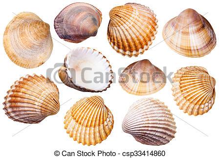 Mollusc clipart clam #8