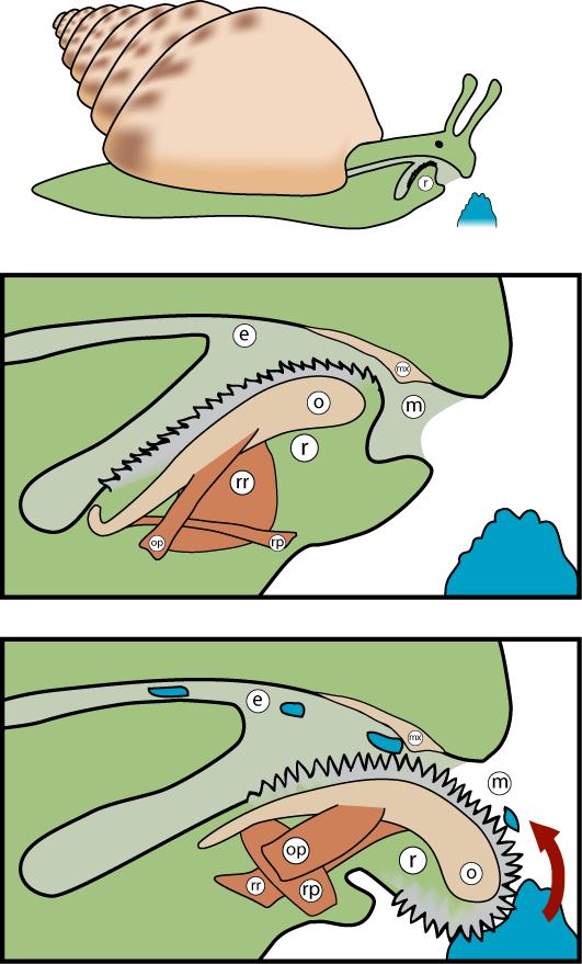 Mollusc clipart land animal #12