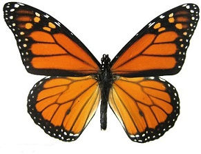 Monarch Butterfly clipart Clipart Butterfly Free Monarch butterfly