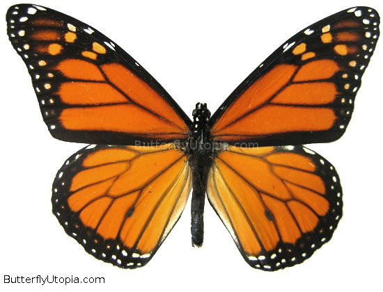 Monarch Butterfly clipart closed wing #1