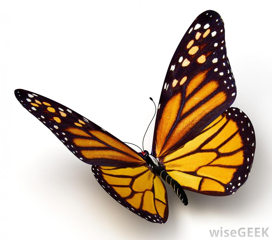 Monarch Butterfly clipart female With Download Art a Butterfly