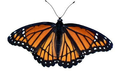Monarch Butterfly clipart female How to A butterflies ASU