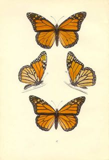 Monarch Butterfly clipart masculine Antique Find illustration; of picture