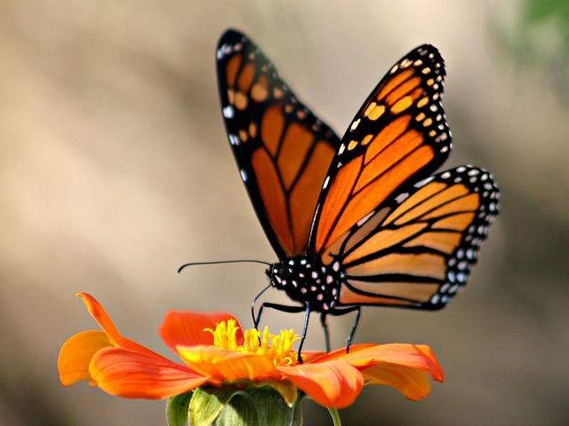 Monarch Butterfly clipart masculine 25+ Migrating tattoo Photo Sharing!