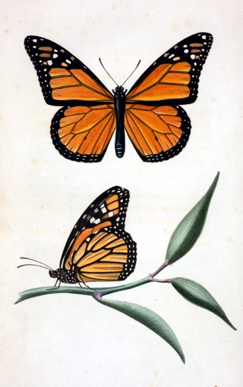 Monarch Butterfly clipart masculine FREE Vintage monarch FREE on