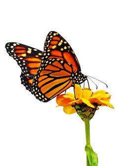 Monarch Butterfly clipart masculine Card Monarch  butterfly Flower