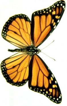 Monarch Butterfly clipart masculine Butterfly Find FREE butterfly more