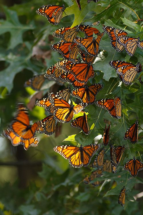 Monarch Butterfly clipart swarm This more Pinterest on Pin