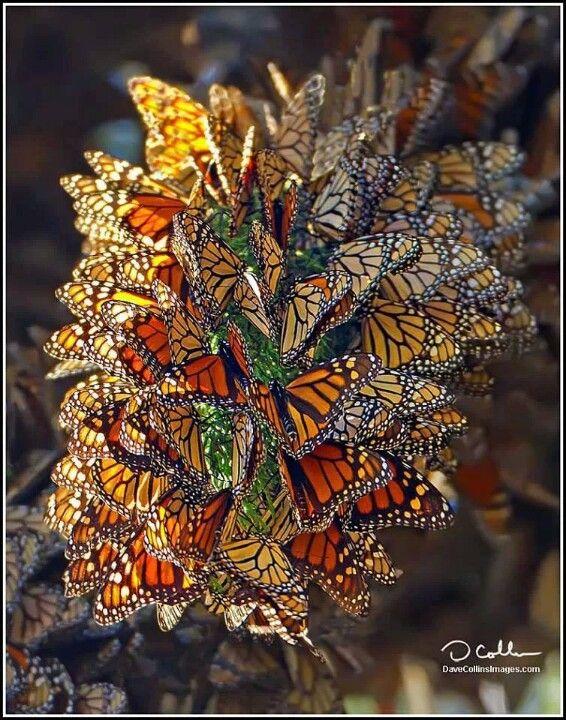 Monarch Butterfly clipart swarm Swarm 99 best of Monarcas
