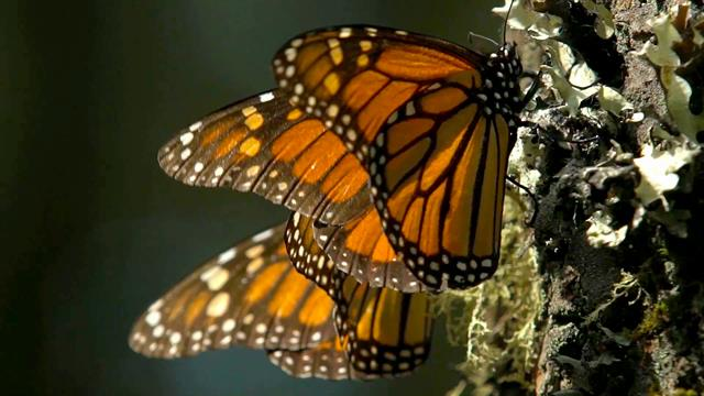 Monarch Butterfly clipart swarm Of Go Here Monarch Winter
