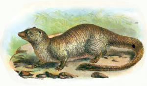 Mongoose clipart Art Ichneumon Mongoose Download Herpestes