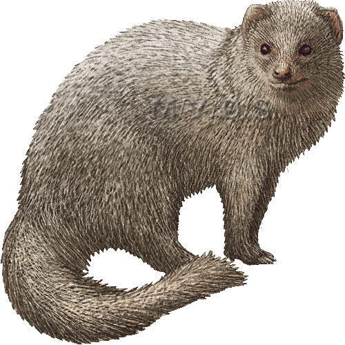 Mongoose clipart Large clipart picture Small Mongoose