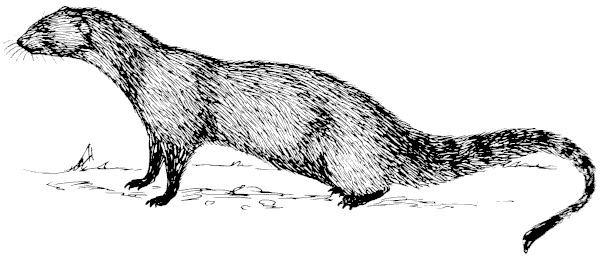 Mongoose clipart 1 Free Mongoose page Clipart