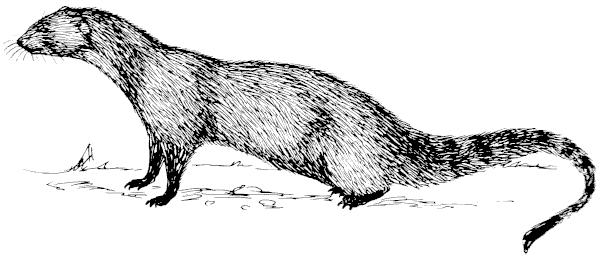 Otter clipart mongoose Free 1 Art Free Mongoose