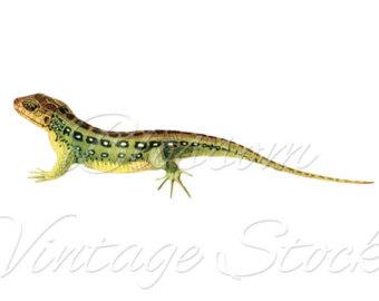 Monitor Lizard clipart newt #2