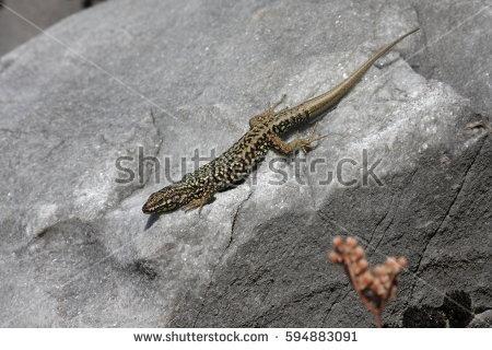 Monitor Lizard clipart newt #5