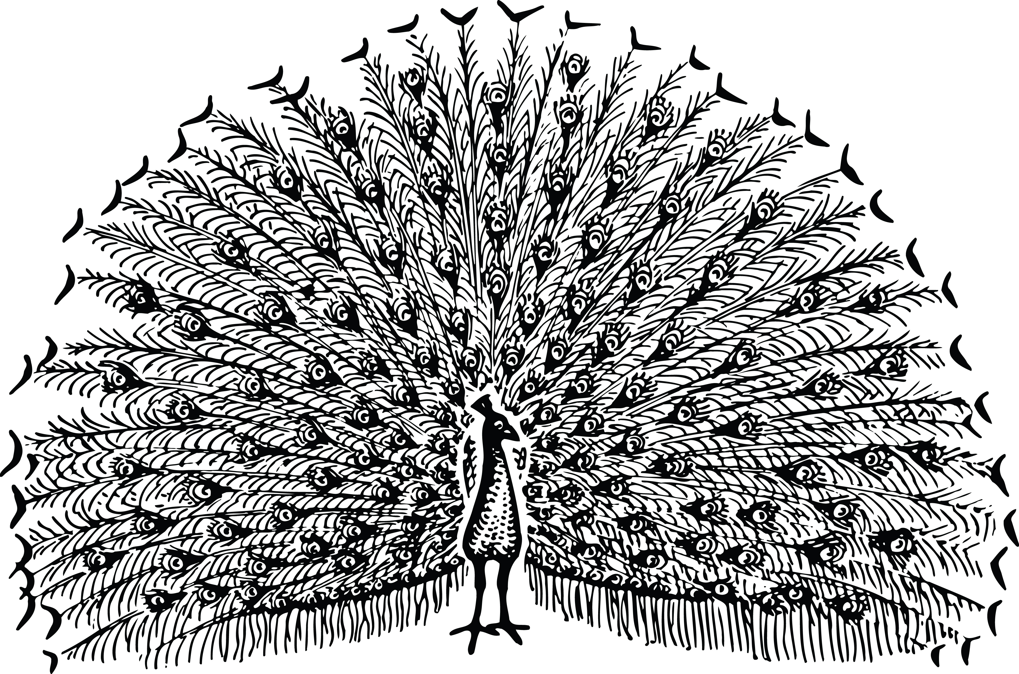 Peacock clipart big And peacock Clipart black Peacock