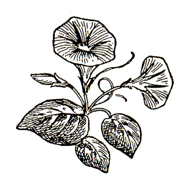 Morning Glory clipart Black Clipart White And Morning