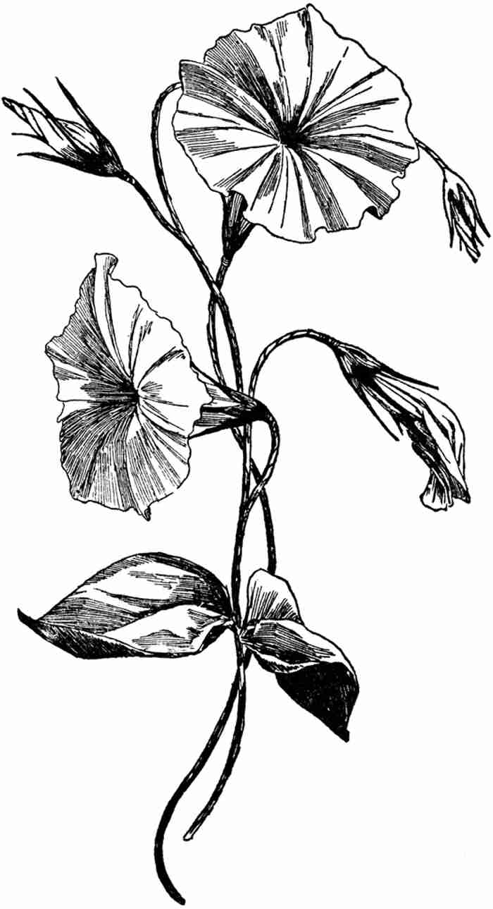 Morning Glory clipart black and white Reference Download Clip Of Art
