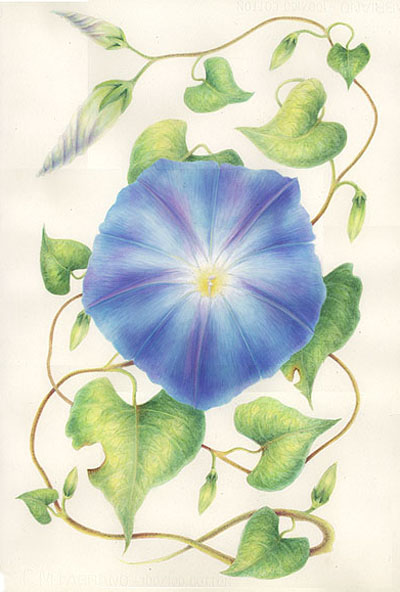 Morning Glory clipart watercolor #13