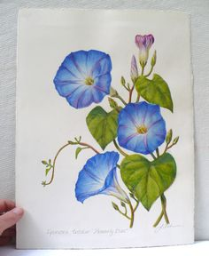 Morning Glory clipart watercolor #9
