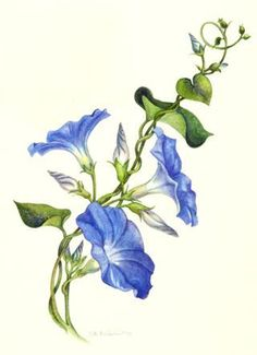 Morning Glory clipart watercolor #8