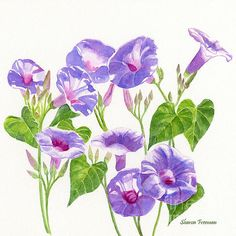 Morning Glory clipart watercolor #11