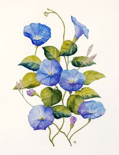 Morning Glory clipart watercolor #12