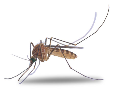 Bugs clipart mosquito Clip free open in art