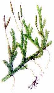 Moss clipart Moss Download Art Moss Stagshorn