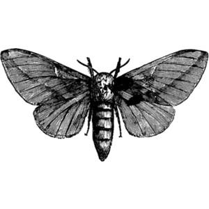 Moth clipart drawn #13