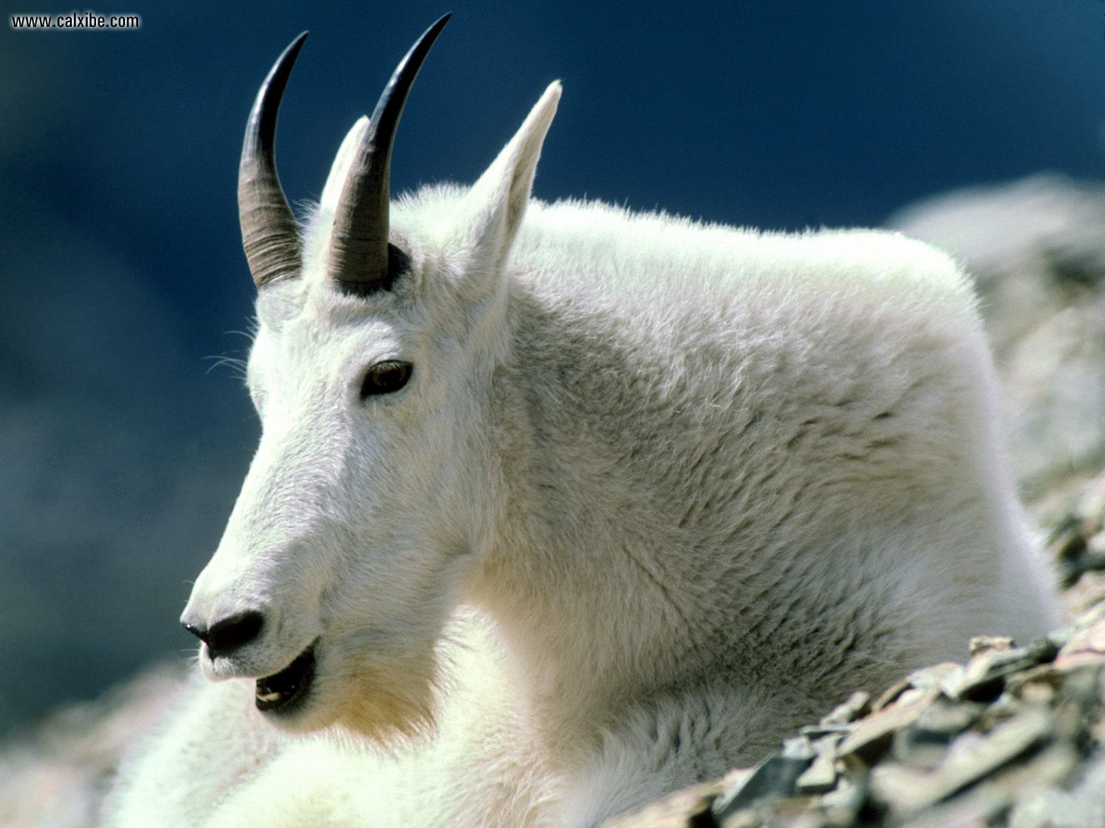 Mountain Goat clipart two goat Goat drawing Drawing Mountain Face