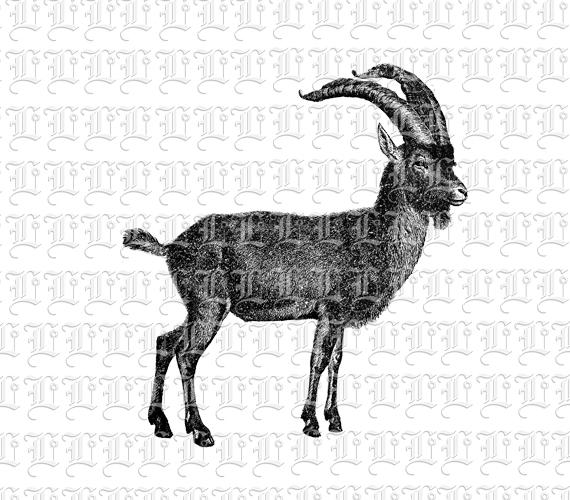 Mountain Goat clipart printable Antilope 300 Male Animal Goat