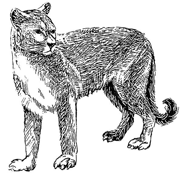 Mountain Lion clipart Clipart Public Clipart Domain Cougar