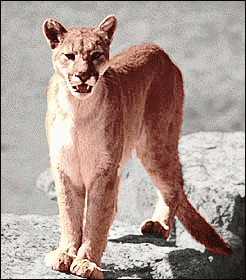 Mountain Lion clipart lioness Clip Page Mountain 2 Art