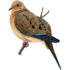 Mourning Dove clipart Graphics Mourning Your Wall from