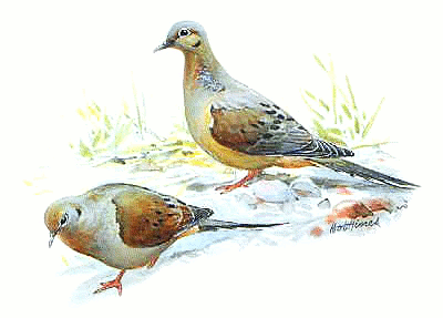 Mourning Dove clipart Dove png S html _Common/Mourning_Dove