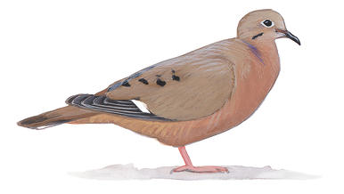 Mourning Dove clipart Pigeons Doves Audubon and Dove