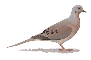 Mourning Dove clipart And Audubon Doves Pigeons