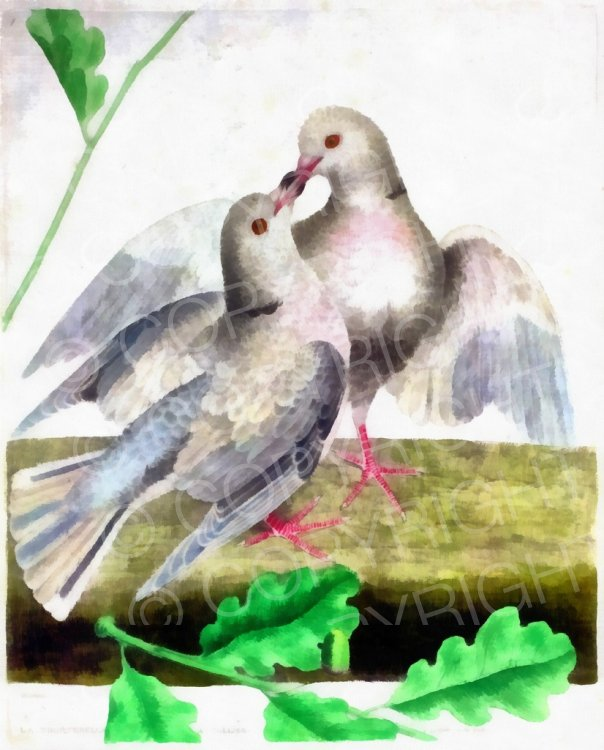 Mourning Dove clipart cartoon Pretty Doves Turtle Digital Vintage